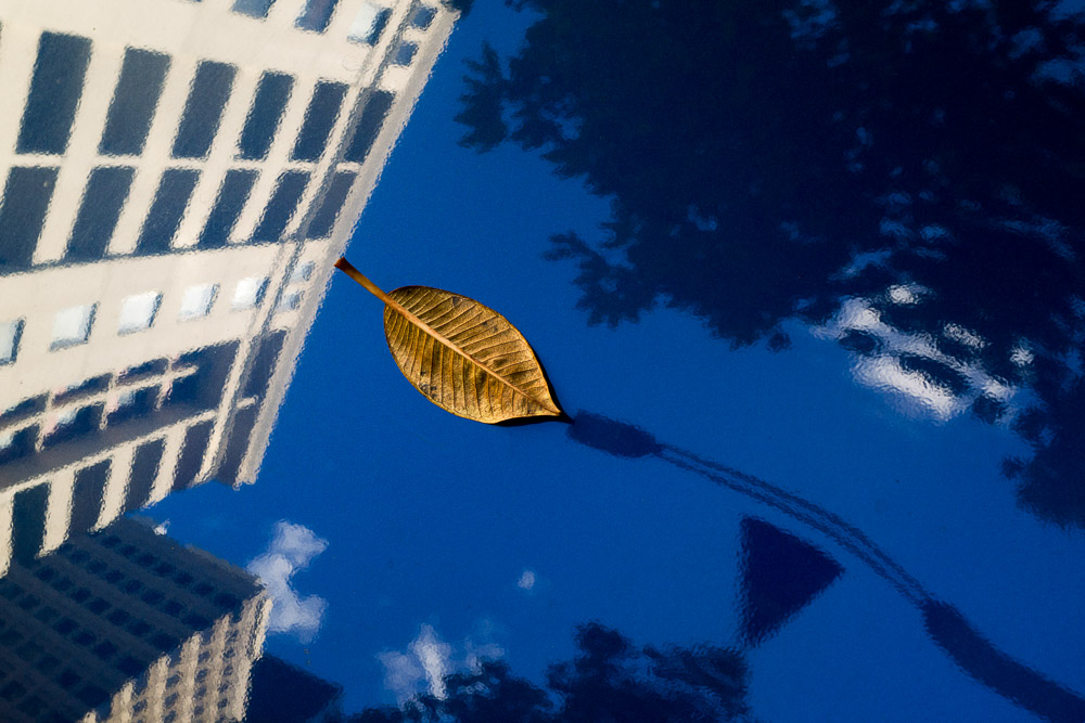 A Moreton Bay fig tree leaf sits on the bonnet of a car in Sydney, Australia.